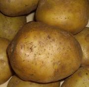 Выращиваем и продаем картофель  4, 70 руб.