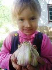 Продам воздушные семена озимого чеснока на посадку  Украинский сорт