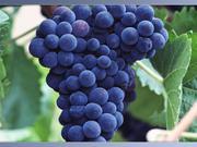 виноград крупным оптом