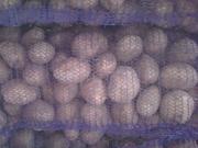 Картофель оптом,  калибр от +5 и выше от производителей РБ