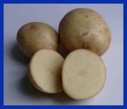 Продаем семенной картофель Невский ЭЛИТА