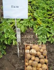 Семенной картофель сорт Гала