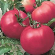 Продаем семена томатов в Краснодаре